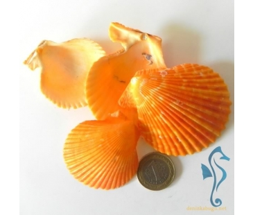 Aequipecten exasperatus ORANGE